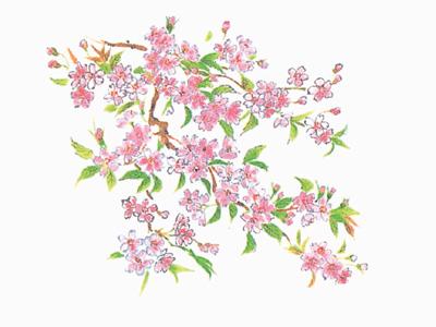 テーブルマット 桜 さくら(100枚入り)
