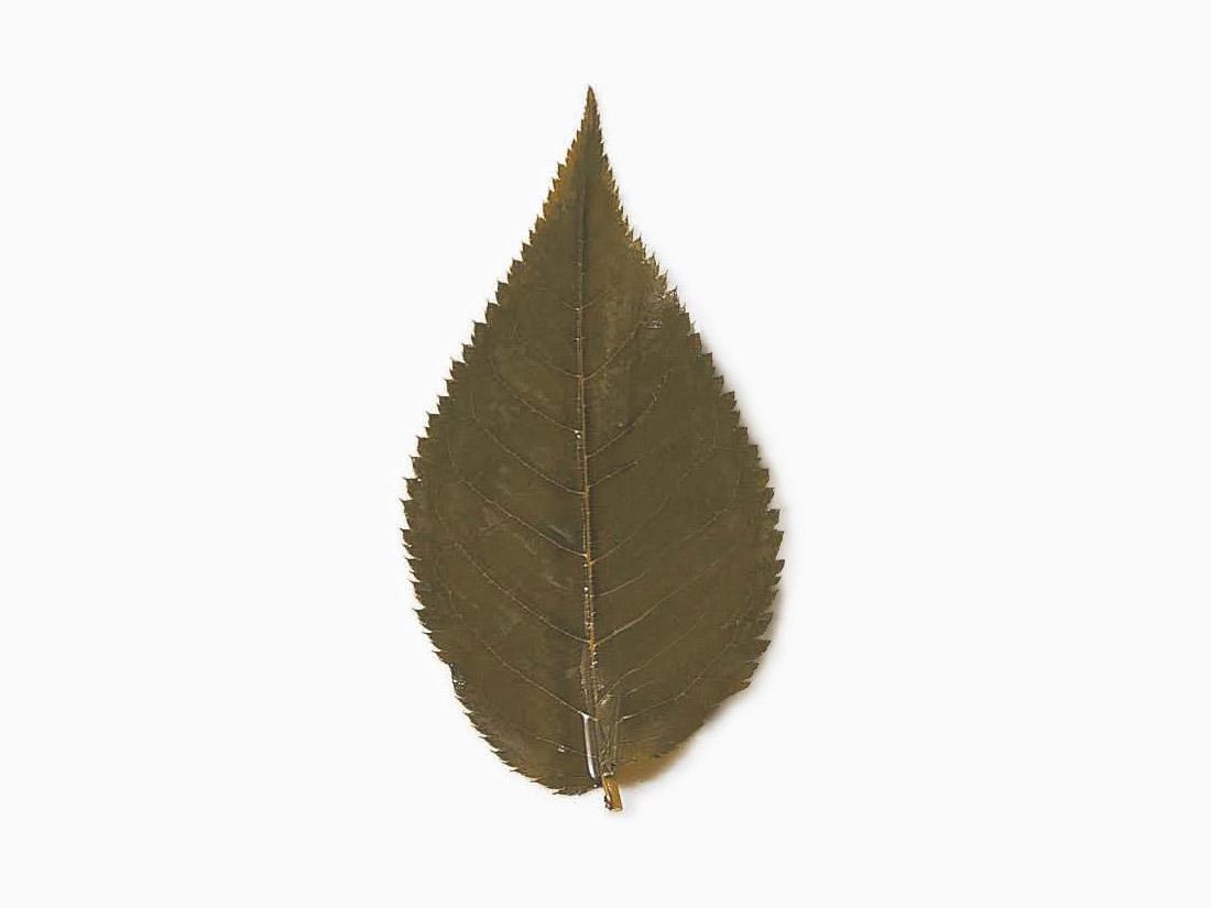 山眞産業 桜の葉(真空)50枚入